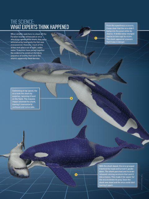 Loài vật khiến cá mập trắng khiếp sợ, hễ nhìn thấy là chúng trốn ngay sang vùng biển khác - Ảnh 5.
