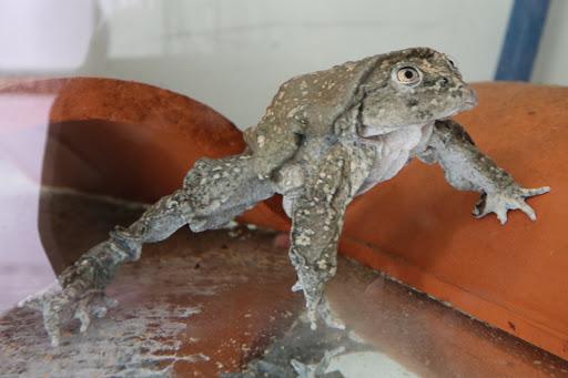 Ếch bìu! Loài ếch khổng lồ Peru đang bị đe dọa nghiêm trọng và chỉ sống ở hồ Titicaca ở biên giới Bolivia và Peru - Ảnh 2.