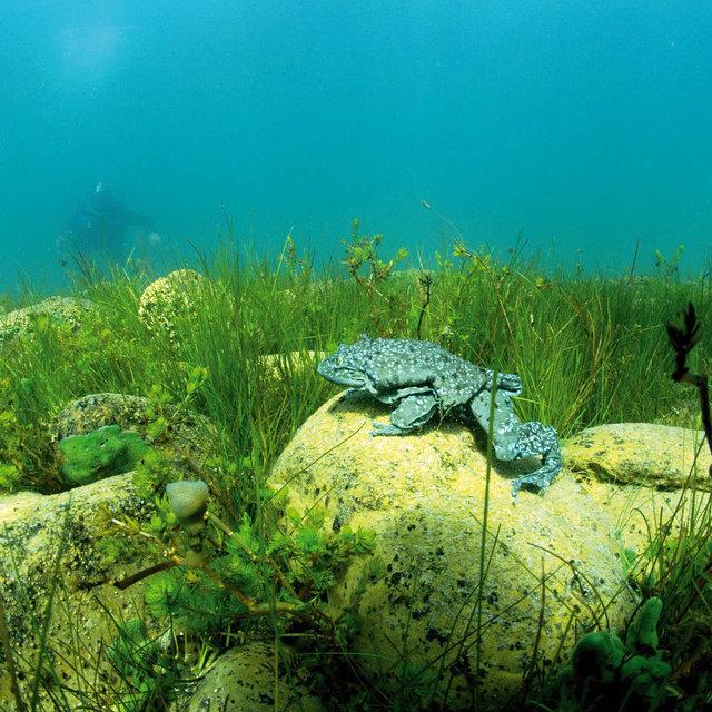 Ếch bìu! Loài ếch khổng lồ Peru đang bị đe dọa nghiêm trọng và chỉ sống ở hồ Titicaca ở biên giới Bolivia và Peru - Ảnh 3.
