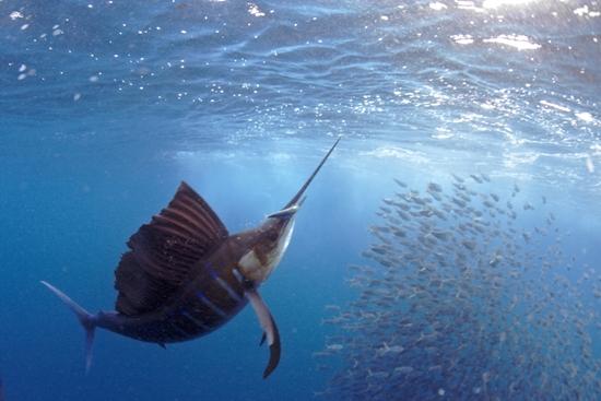 Cá Cờ cũng đạt tốc độ bơi 110km/h