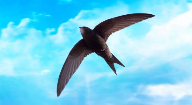 Chim Yến bay với tốc độ lên tới 170km/h