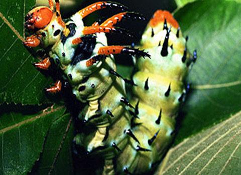 Loài sâu bướm .