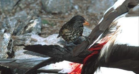 Chim ma cà rồng hút máu các loài khác.
