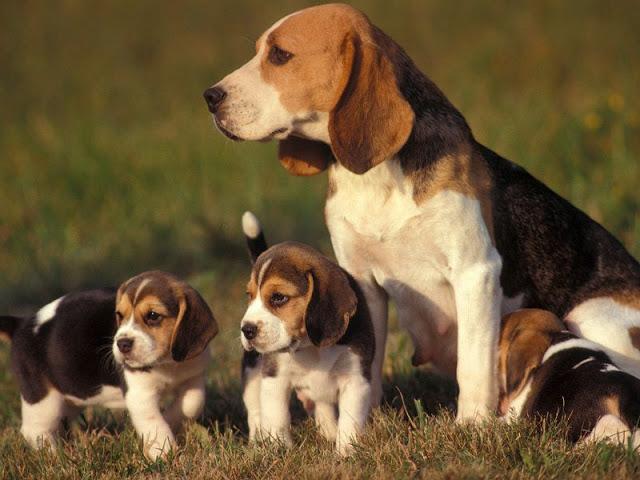 5 giống chó hiền lành thích hợp nuôi để làm bạn, đi dạo không cần rọ mõm - Ảnh 5.
