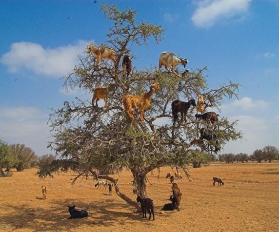 Bạn đừng tưởng người ta ghép những con dê này lên cây, chúng thật sự có khả năng leo trèo đấy.