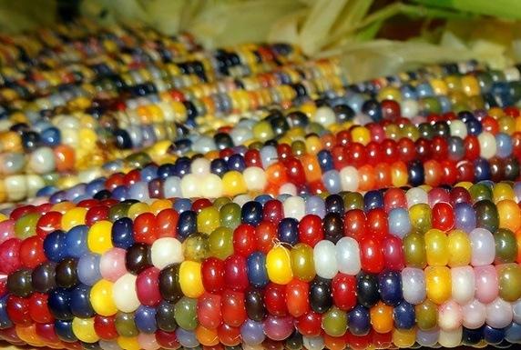 Những hạt bắp đầy màu sắc này cũng không phải do Photoshop.