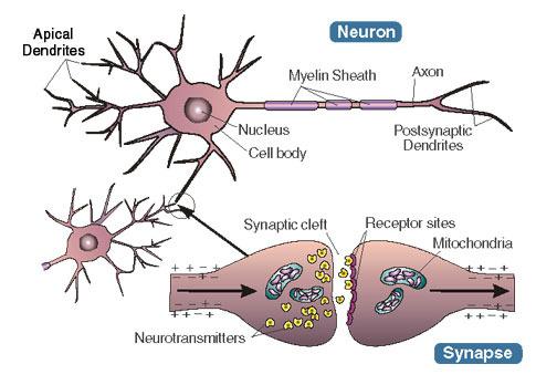 Hình ảnh các khớp thần kinh. Ảnh minh họa: Amazonaws