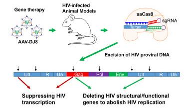Loại bỏ gen HIV trên mô hình động vật nhờ CRISPR