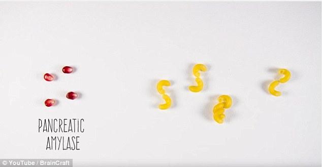 Enzyme amylase tiết ra từ tuyến tụy (minh họa bằng các hạt lựu) sẽ phân tách tinh bột thành đường đôi