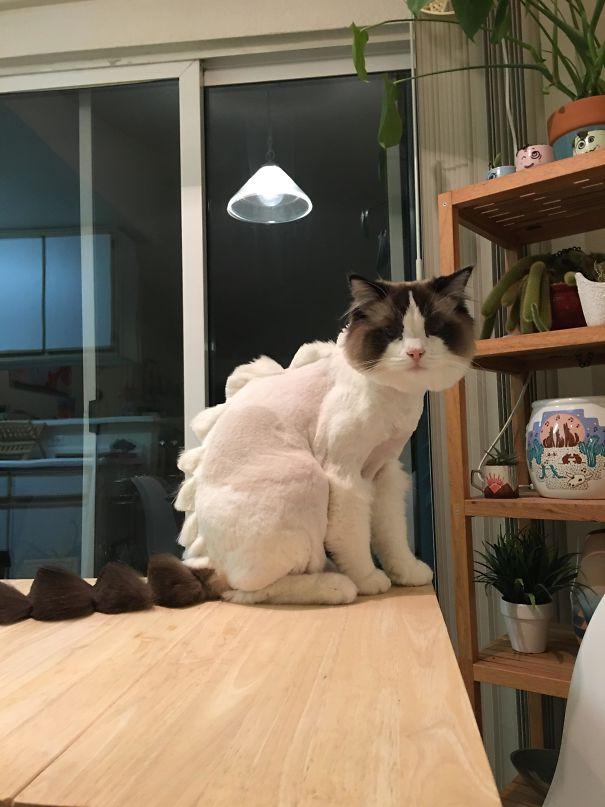 Mang mèo qua cho thợ cắt tóc cho người thì bảo sao lại như thế này
