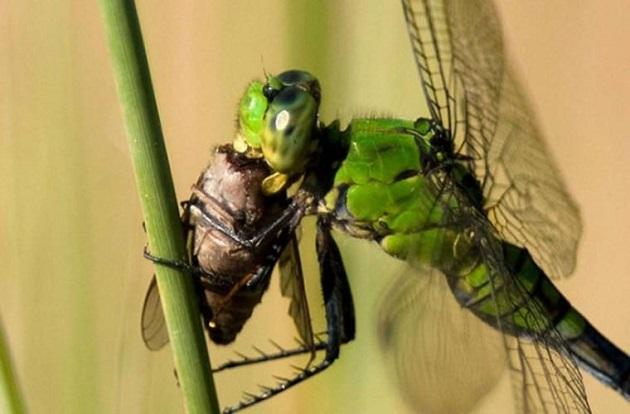 Chuồn chuồn là một trong những loài thiên địch của muỗi