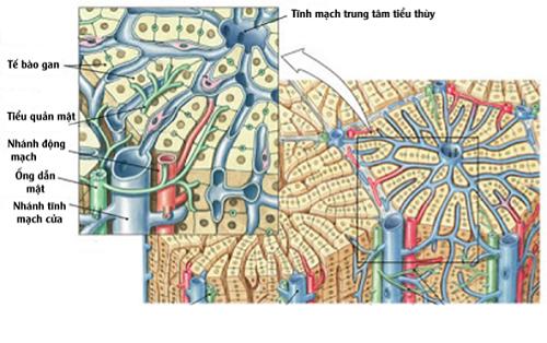 Cấu trúc của gan có độ phức tạp cao