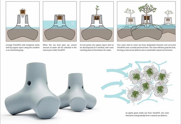 Các nhà nghiên cứu dự đoán rằng, cần 1 khoảng thời gian cỡ 12-14 tháng để rễ của những cây ngập mặn đan lồng vào nhau. Tạo lên 1 quần thể vững chắc, tăng tuổi thọ của chúng. Đồng thời tăng sự đa dạng sinh học, làm sạch vùng nước và trong lành không khí.