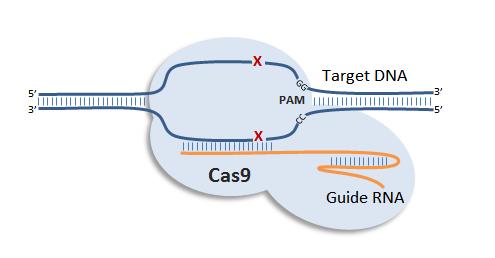 Mô hình CRISPR/Cas9