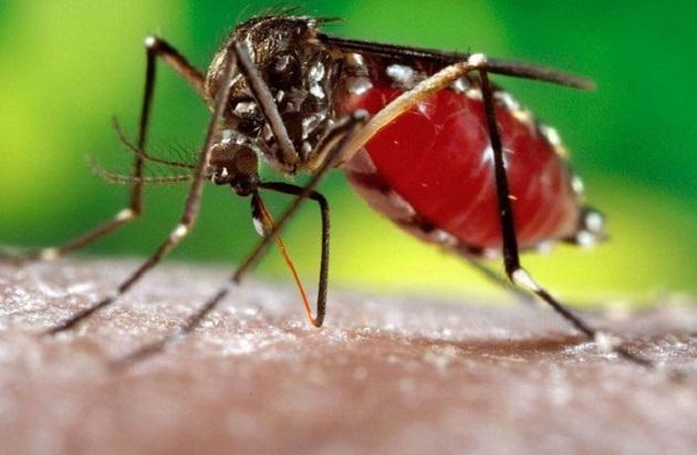 Chỉ có muỗi cái mới có chiếc vòi có khả năng hút máu