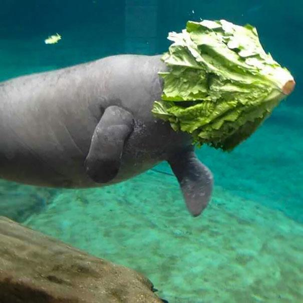 Lợn biển thích ăn xà lách và thích... đội mũ xà lách nữa