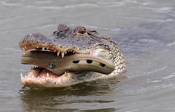 Con cá sấu ngậm dép cá sấu trên dòng sông đầy cá sấu....