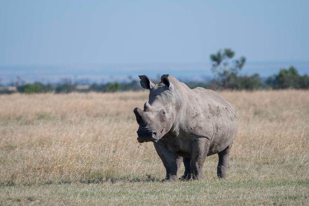Sudan, một chú tê giác trắng ở phía Bắc, thuộc Trung tâm bảo tồn thiên nhiên Ol Pejeta ở Kenya.