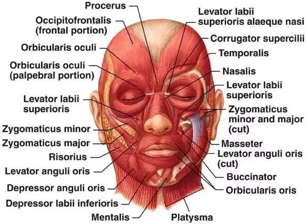 Biểu đồ cơ mặt của con người