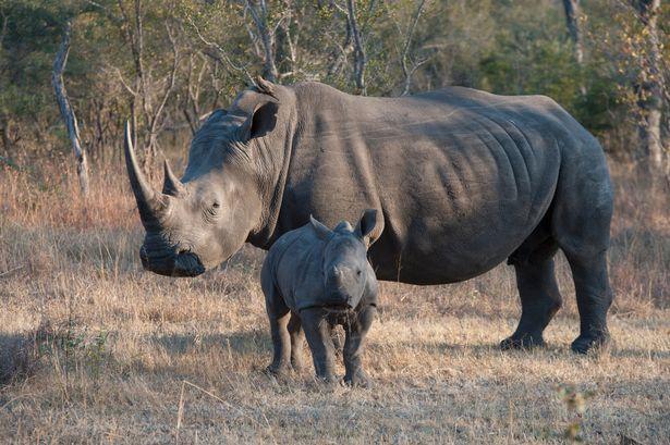 Tê giác trắng đực có nguy cơ tuyệt chủng.