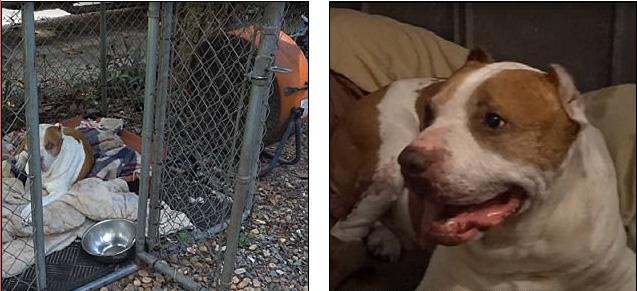 Chú chó Pitbull của Don Rojas bị bất đắc dĩ trở thành... mỗi nhử cho muỗi