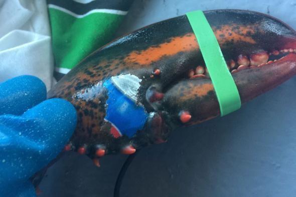 Chú tôm hùm này được đánh bắt từ bờ biển New Brunswick, Canada và được tìm thấy từ hồi đầu tháng với một hình vẽ kỳ lạ trên phần càng của nó – có hình dạng rất giống với vỏ lon Pepsi.