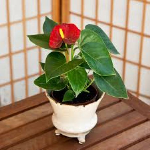 Nasa giới thiệu 17 loại cây cảnh giúp thanh lọc không khí cực tốt, phù hợp cho ngày Tết - Ảnh 11.