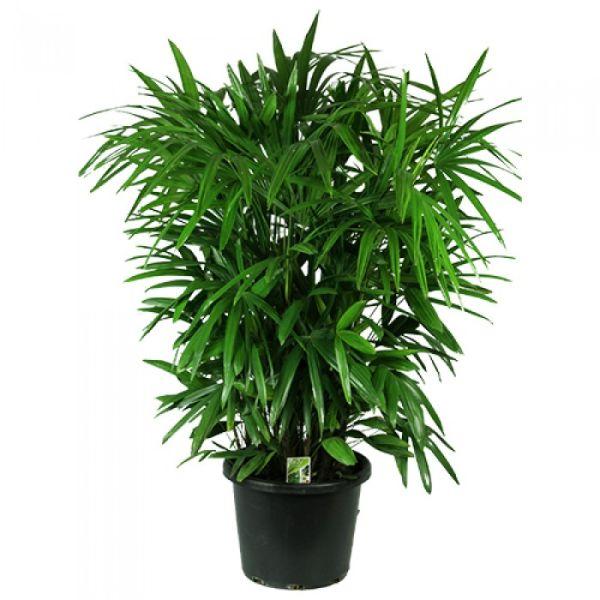 Nasa giới thiệu 17 loại cây cảnh giúp thanh lọc không khí cực tốt, phù hợp cho ngày Tết - Ảnh 12.