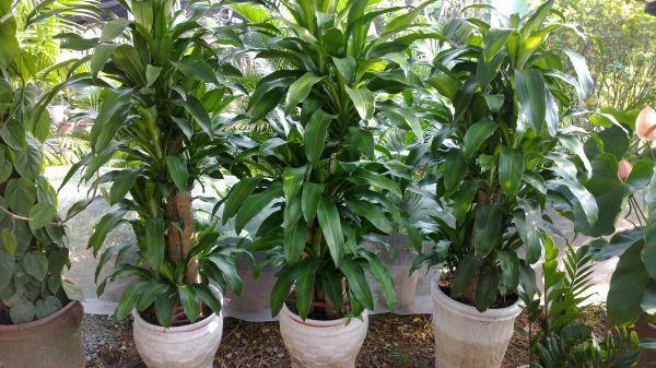 Nasa giới thiệu 17 loại cây cảnh giúp thanh lọc không khí cực tốt, phù hợp cho ngày Tết - Ảnh 14.