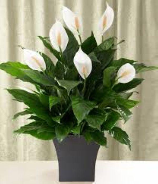 Nasa giới thiệu 17 loại cây cảnh giúp thanh lọc không khí cực tốt, phù hợp cho ngày Tết - Ảnh 18.