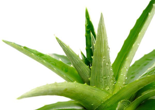 Nasa giới thiệu 17 loại cây cảnh giúp thanh lọc không khí cực tốt, phù hợp cho ngày Tết - Ảnh 19.
