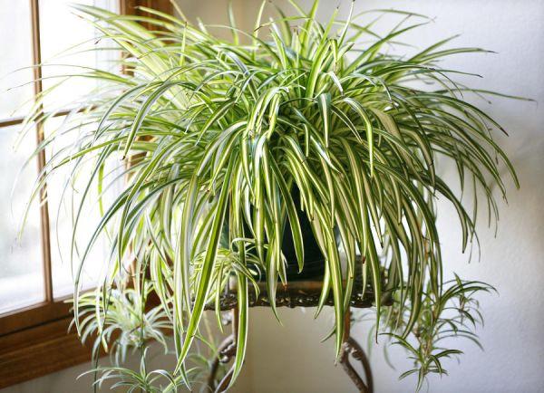 Nasa giới thiệu 17 loại cây cảnh giúp thanh lọc không khí cực tốt, phù hợp cho ngày Tết - Ảnh 6.
