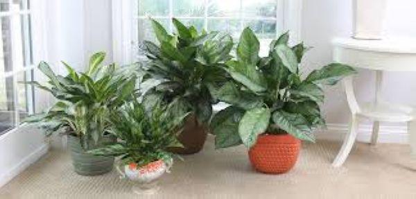 Nasa giới thiệu 17 loại cây cảnh giúp thanh lọc không khí cực tốt, phù hợp cho ngày Tết - Ảnh 7.