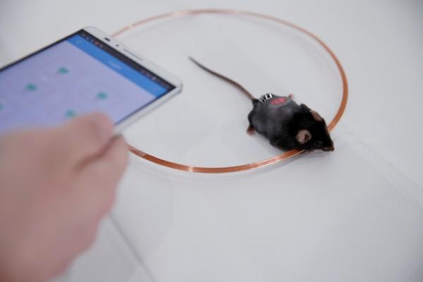 Mỗi ngày, đèn LED bên trong những con chuột tiểu đường được bật 4 tiếng