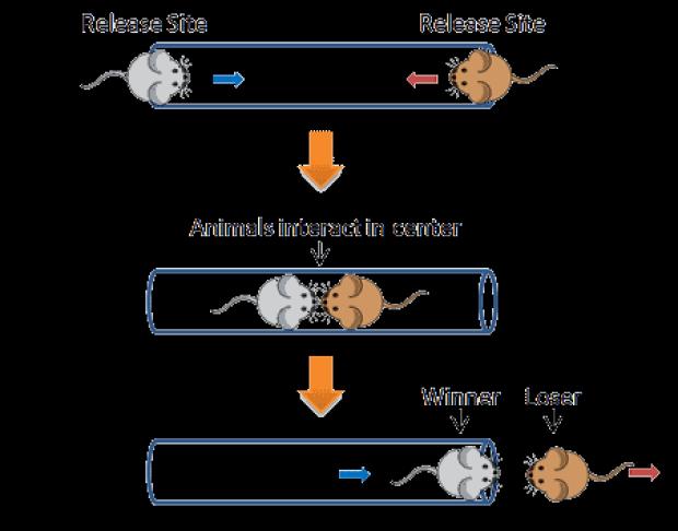 Mô tả thí nghiệm đường ống của những con chuột