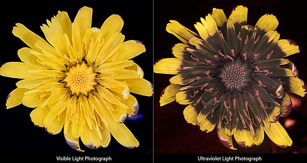 Hoa bồ công anh - Bên trái là dưới ánh sáng thường còn bên phải là dưới ánh sáng cực tím.