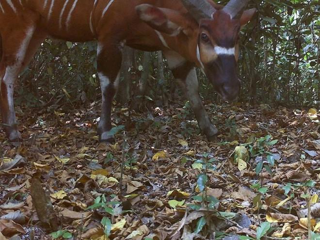 Phát hiện loài linh dương rừng lớn nhất thế giới sau nhiều năm giấu mình - Ảnh 1.