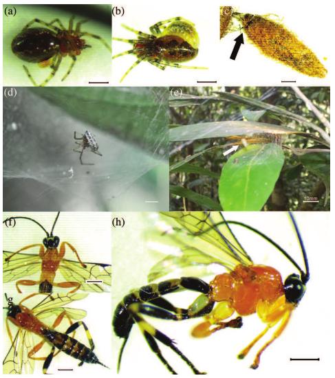 Phát hiện ra loài ong bắp cày đáng sợ: xác sống hóa hoàn toàn một con nhện và biến nó thành thức ăn cho ấu trùng - Ảnh 2.