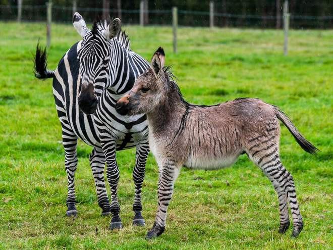 Đố bạn biết lừa lai với ngựa vằn sẽ ra con gì? Câu trả lời xấu xí như một cơn ác mộng - Ảnh 3.