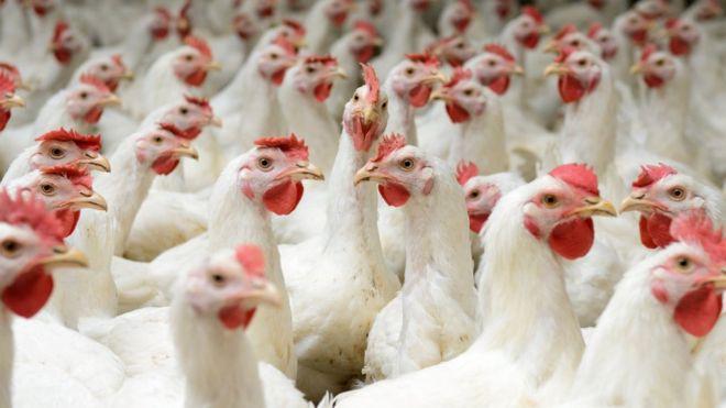 Sự thật: chúng ta đang sống trong kỷ nguyên của những con gà - Ảnh 1.