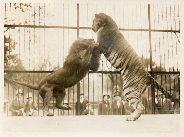 Hỏi cực khó: Hổ và sư tử đánh nhau, con nào sẽ thắng? - Ảnh 9.