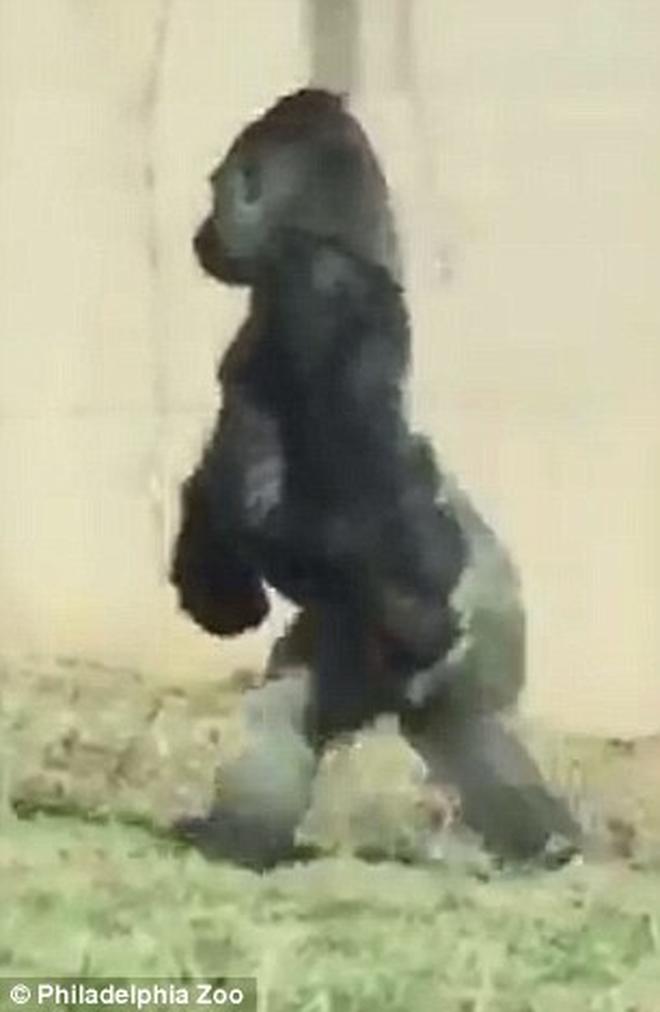 Chú Gorilla khiến cộng đồng mạng cười ngất với màn đi bằng 2 chân để tránh bị bẩn tay khi ăn - Ảnh 2.