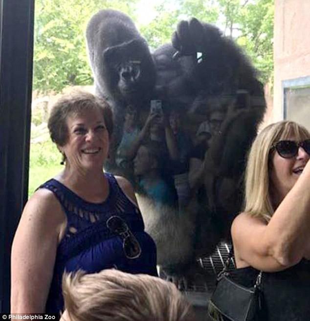 Chú Gorilla khiến cộng đồng mạng cười ngất với màn đi bằng 2 chân để tránh bị bẩn tay khi ăn - Ảnh 4.