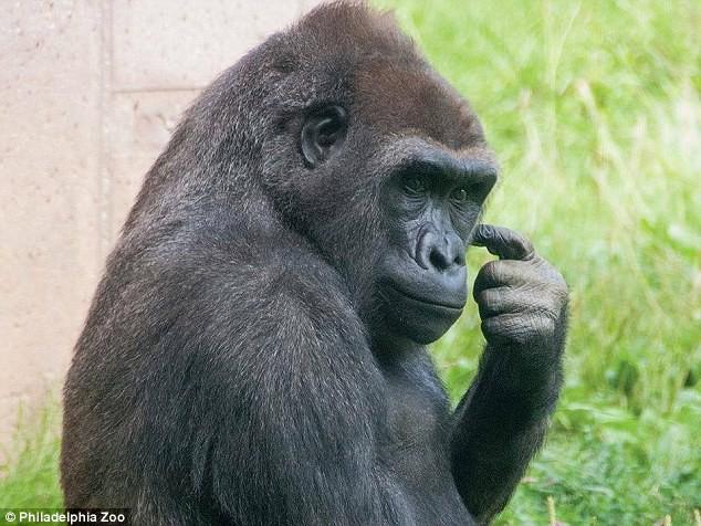 Chú Gorilla khiến cộng đồng mạng cười ngất với màn đi bằng 2 chân để tránh bị bẩn tay khi ăn - Ảnh 5.