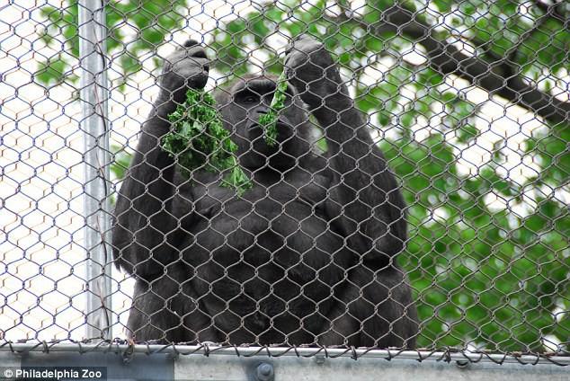 Chú Gorilla khiến cộng đồng mạng cười ngất với màn đi bằng 2 chân để tránh bị bẩn tay khi ăn - Ảnh 6.