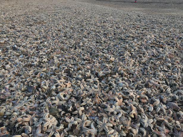 Quái vật phương Đông tràn qua châu Âu, hàng chục nghìn con sao biển chết trôi dạt vào bờ biển - Ảnh 1.