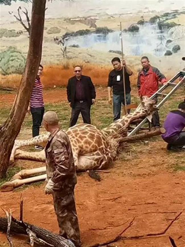 Chà vào chạc cây để gãi ngứa, chú hươu cao cổ mất mạng vì cách không ai ngờ đến - Ảnh 2.