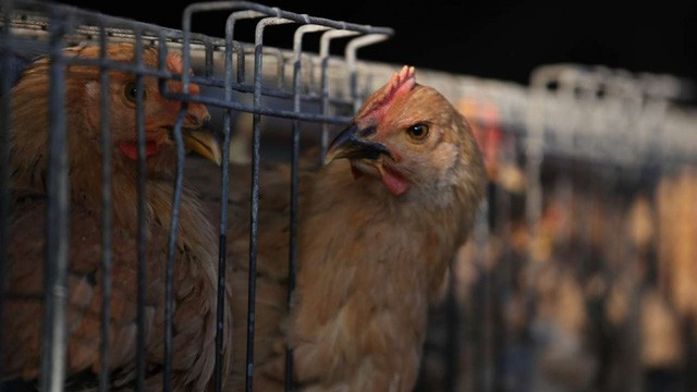 Case study kinh điển ở Harvard: Gã điên đốt tiền tấn để nghiên cứu làm kính áp tròng cho… gà, cung ứng cho hầu hết trại gà lớn khắp nước Mỹ và trở thành triệu phú đô la - Ảnh 1.
