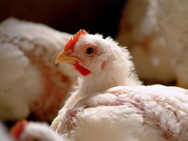 Case study kinh điển ở Harvard: Gã điên đốt tiền tấn để nghiên cứu làm kính áp tròng cho… gà, cung ứng cho hầu hết trại gà lớn khắp nước Mỹ và trở thành triệu phú đô la - Ảnh 2.