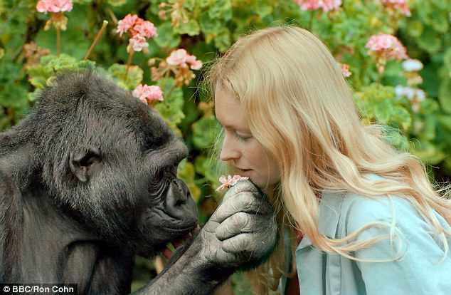 Koko - khỉ đột biết nói chuyện với con người đã qua đời ở tuổi 46 - Ảnh 1.